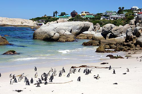 Pinguine in Simon's Town, SA